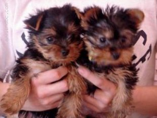Male and female yorkie puppies ready for re-homing text me at (636-203-7393)