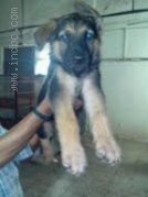 SB Kennels – German Shepherd puppies available for Sale @ 9820578965