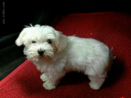 Maltese puppies available for Sale @ 9820578965