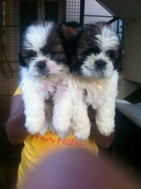 Shih Tzu available for Sale @ 9820578965