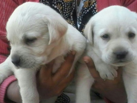 Labrador available for Sale @ 9820578965